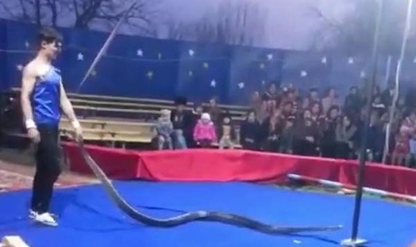 俄驯蟒师表演时被巨蟒绕脖窒息倒地 生死未卜