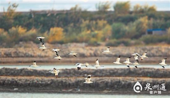 """藍藍泉州灣成候鳥""""天堂""""!泉州灣河口濕地迎來觀鳥季"""