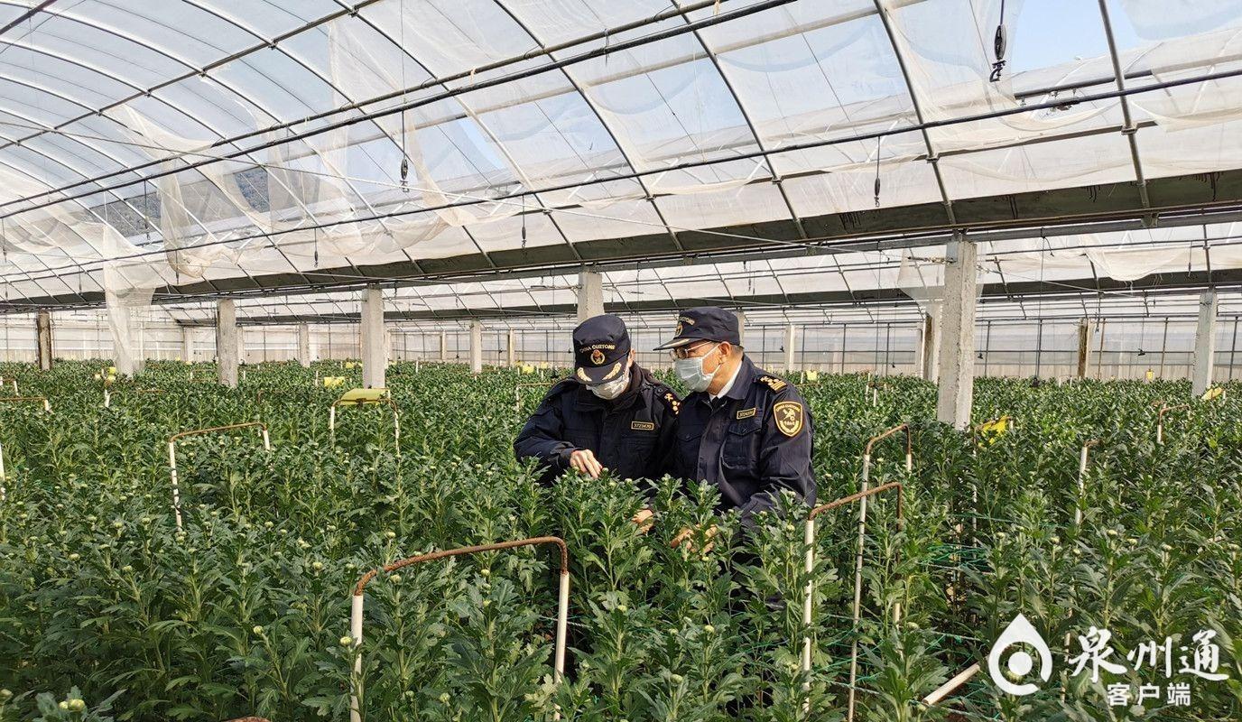 清明越洋寄哀思 11.88噸鮮菊在廈快速通關出口韓國